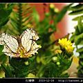 鱗翅目-石牆蝶