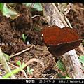 鱗翅目-樺蛺蝶