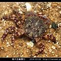 扁平多囊蟹奴 Polyascus plana