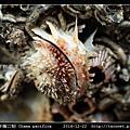太平洋偏口蛤 Chama pacifica