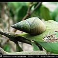 黑口玉黍螺 Littoraria melanostoma