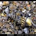 環珠捲管螺 Turricula nelliae spurius