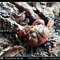 桑椹蟹 Drachiella morum