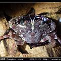 銳齒蟳 Charybdis acuta