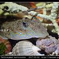 鼠銜魚 Callionymus curvicornis