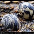 齒紋蜑螺 Neritina yoldi