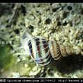 克氏海螄螺 Epitonium clementinum