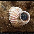 羅氏海螄螺 Papyriscala robillardi