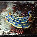 節慶高澤海蛞蝓 Hypselodoris festiva