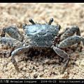 長足長方蟹 Metaplax longipes