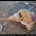 素面織紋螺 Nassarius sufflatus