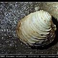 木雕蛋糕簾蛤 Placamen calophylla