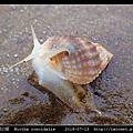 球織紋螺 Niotha conoidalis