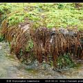 萱藻 Scytosiphon lomentaria