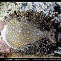 初雪寶螺 Cypraea miliaris