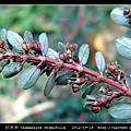 大戟科-紅乳草 Chamaesyce thymifolia