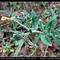 裂葉月見草 Oenothera laciniata
