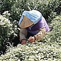 2017年苗栗銅鑼芋頭杭菊季