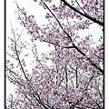 2009陽明花季