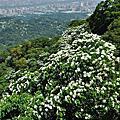 100-05-08土城賞油桐花