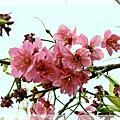 小公園裡的櫻花
