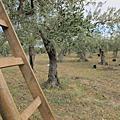 2011西西里島橄欖採收