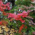 2014年12月武陵與福壽山農場楓紅