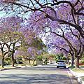2016年4月社區行道樹~藍花楹