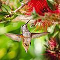 202106後院蜂鳥
