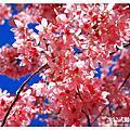 2012.02.21宜蘭、武陵農場賞櫻之旅