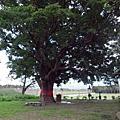 花蓮鳳林-百年茄冬樹