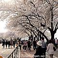101 Seoul賞櫻旅之二_梨花女子大學&汝矣島