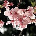 1020213_新竹開春賞櫻小旅行
