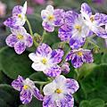 非洲紫羅蘭(實生授粉)自育品種
