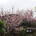 (405)2015.03.01楓樹湖木蓮花