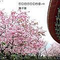(408)2015.03.22天元宮櫻花開