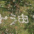 (411)2015.04.19苗栗客家大院。桐花