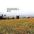 (441)2015.11.15苗栗銅鑼杭菊