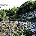(473)2016.05.28陽明山繡球花+牧蜂