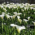 (703)2020.02.29_2020竹子湖海芋季