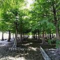 (736)2020.08.29桃園大溪韭菜花田+落羽松