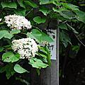 2014/05彰化油桐花尾聲