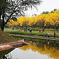 2015/03台南市區黃金風鈴木盛開