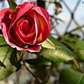 自家花園-玫瑰等花