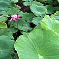 2010.04大安森林公園/植物園蓮花