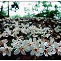 三義油桐花之旅