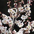 偕樂園梅花祭