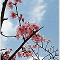 2019新竹公園河律櫻櫻花季