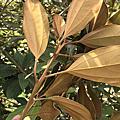 佛光樹(金星木薑子)