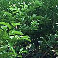 長果月橘(大果七里香)